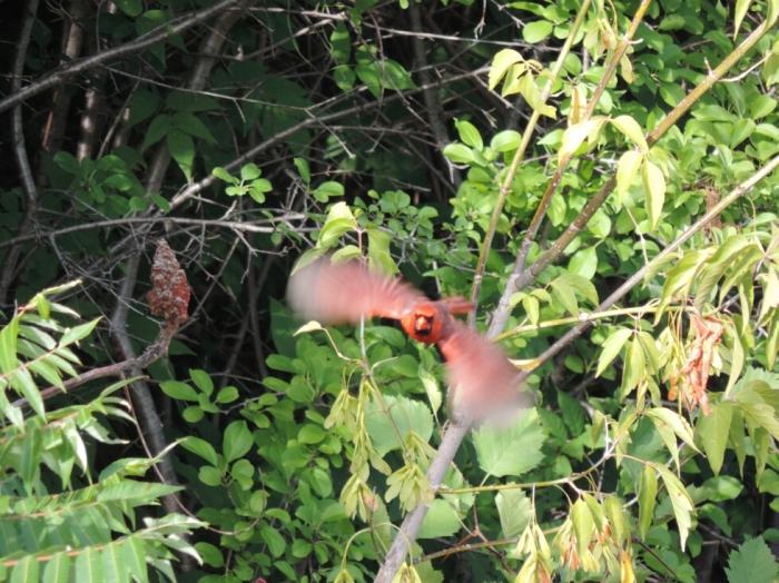 Un cardinal rouge qui s'envole, à l'île Perry!