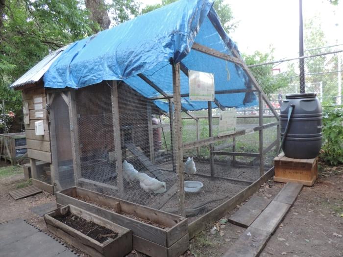 05 poules de Rosemont (1)