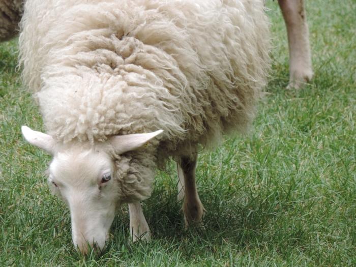 les moutons dans Rosemont font fureur!